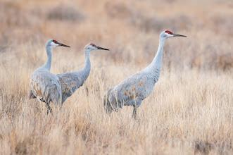 Photo: Sandhill cranes in field.