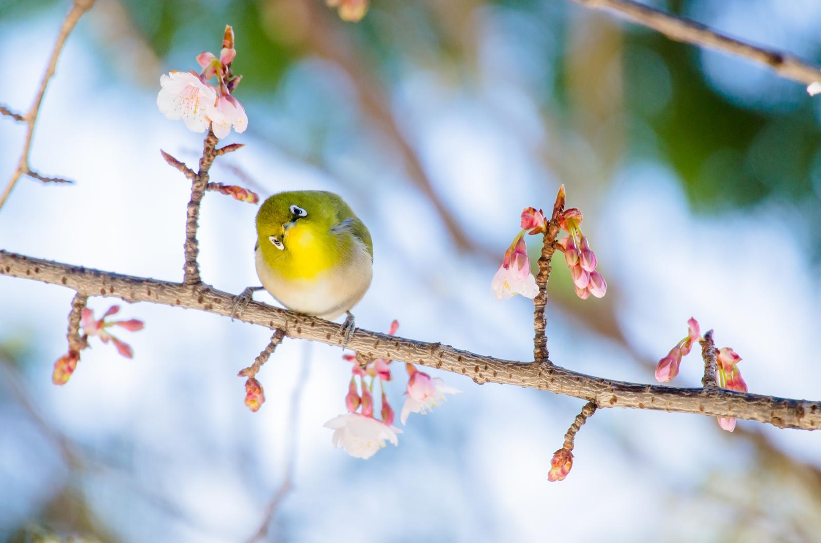 """Photo: 「お花見する?」 / Let's enjoy the cherry blossoms together.  """"咲き始めた 春の喜び 嬉しさを分かち合いたくて 来る者みんなに視線を向ける""""  写真展『まなざし』出展作品より 今回ご紹介させていただくのは メインテーマ「まなざし」の 24枚のうちの1枚 「お花見する?」です。  ぽつりぽつりと咲きはじめた 早咲きの桜の中で 夢中で楽しむメジロ、 訪れる人にも 一緒に楽しもうよと 話しかけてくれているようでした♪  私の個展も29日(日)までです。 平日に来られる方は比較的に のんびりと楽しんでいただけると思うので、 御都合がつけばぜひお越しください^^  この一枚のように たくさんの小鳥たちのまなざし そして小さなメッセージ、 形として完成された作品、 ぜひそのものを見ていただきたいです。 どうぞ宜しくお願いいたします!  ・大塩貴文 写真展『まなざし』 お手数ですが詳細は下記リンクを参照してください。 < http://islandgallery.jp/12134 >  ・Live Talk YouTubeアーカイブ 少しずついろんな方に見ていただくことができ 閲覧数もどんどんと増えています、 たくさんありがとうございます! < https://youtu.be/EIPFeUxyRwE >  #birdphotography #birds  #cooljapan #kawaii  #nikon #sigma"""