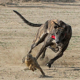 Cathing by Abdul Rehman - Animals - Dogs Running ( race, culture, rabbit, greyhound, pakistan )