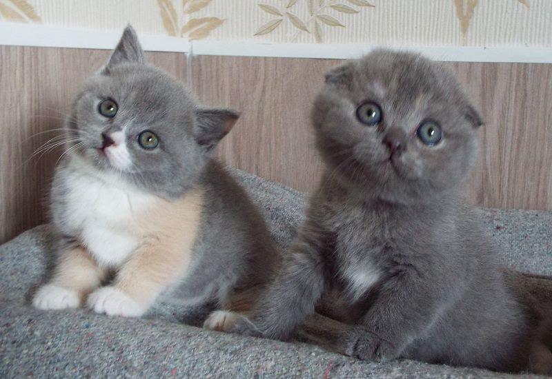 Giá Mèo Tai Cụp - Scottish Fold. Giá Mua, Bán Mèo Tai Cụp Thuần Chủng