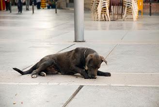 Photo: La gossa de la Carme intentant abastar l'aigua del fons d'un clot a la Plaça Sant Domènec el passat i calurós Sant Jordi