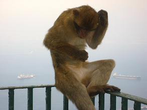 Photo: Gibraltar Maymunu. Ape of Gibraltar.