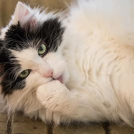 Tasting my paw by Dan Herman - Animals - Cats Portraits