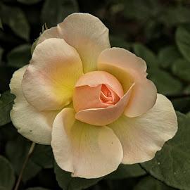 GOR rose 98 16 by Michael Moore - Flowers Single Flower (  )