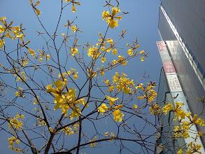 Photo: 元町駅前にラパチョの木が!