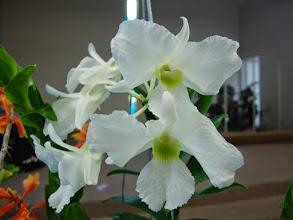 Photo: Dendrobium dearei