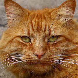 Frank the Cat by Chrissie Barrow - Animals - Cats Portraits ( orange, cat, ginger, pet, whiskers, fur, ears, nose, closeup, portrait, eyes,  )