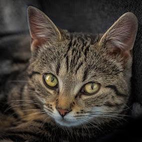 our kitten by Benny Høynes - Animals - Cats Kittens ( portraiture, cat, kitten, norway, animal,  )
