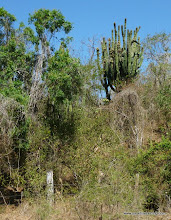 Photo: Onward, past the Bioto Road, the giant Stenocereus cactus (organ pipe-type, maybe fricii sp.?), in the coastal lowlands