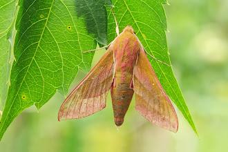 Photo: Deilephila elpenor, Grand sphinx de la vigne, Elephant Hawk-moth https://www.facebook.com/max.dodema.9