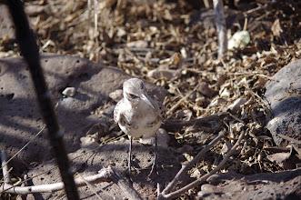 Photo: Galapagos Mockingbird