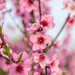 flori piersic.jpg