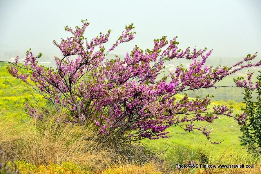 Иудино дерево. Север Израиля.