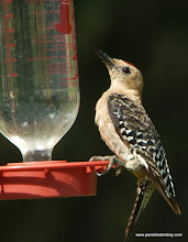 Photo: Adult male Gila Woodpecker at a hummingbird feeder, San Pedro River Visitor Center, southeast Arizona