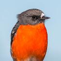 Flame Robin (male)