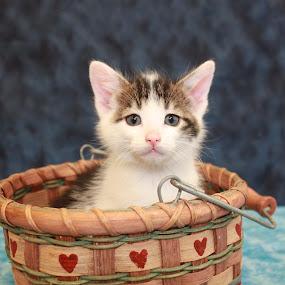 Sebastian by Sharon Scholtes - Animals - Cats Kittens ( cat, kitten, tiger, basket, white, feline )