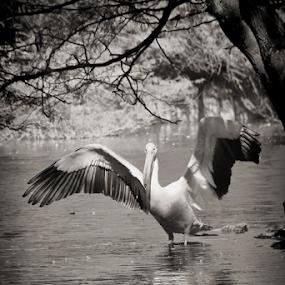 Pelican... by Shubhendu Bikash Mazumder - Black & White Animals ( blackandwhite, nature, wildlife, black&whitephoto, birds,  )