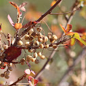 Pacific Poison Oak