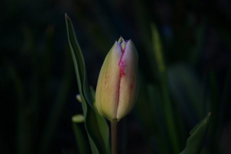 Photo: Evening bud.  +273