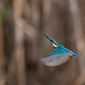 The king of fisher's by Riccardo Trevisani - Animals Birds ( bird, nature, kingfisher, wildlife, birdwatching, martin pescatore, trevisani riccardo, animal, motion, animals in motion, pwc76 )