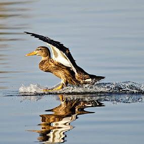 Ducky Landing, Gilbert, AZ by Steve Forbes - Animals Birds