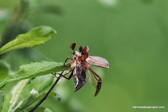 Photo: May beetle unfurls wings