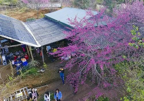 Hồ Pa Khoang, khai mạc sự kiện hoa anh đào 5