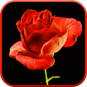 Blooming Rose 3D Video Theme icon