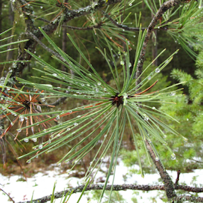 Pine needles at the Rattlesnake Wilderness Trail Head by Gregg Landry - Nature Up Close Trees & Bushes ( pine tree, montana, pine needles, missoula, spring,  )