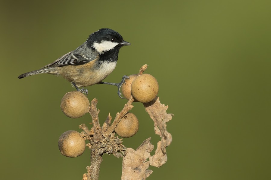 Coal tit (Periparus ater) by Jose Macedo - Animals Birds