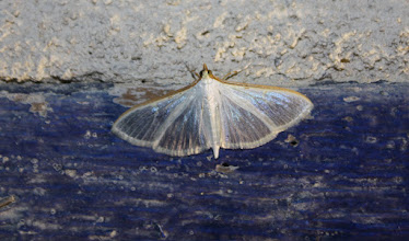 Photo: Palpita vitrealis  Lepidoptera > Crambidae