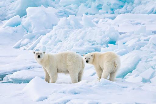 polar-bears.jpg - Polar bears seen on a Ponant expedition sailing to the arctic.