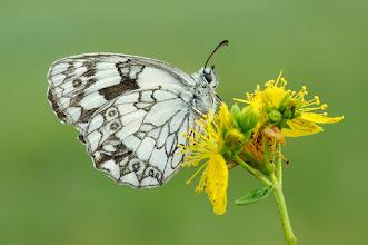 Photo: Melanargia galathea, Demi-deuil, Marbled White  http://lepidoptera-butterflies.blogspot.com/