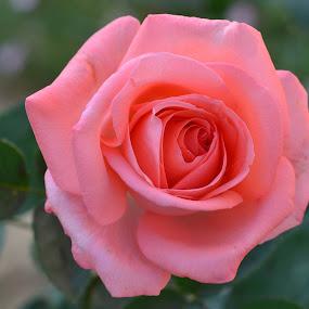 Pink Rose by Praveen Kulshreshtha - Flowers Single Flower (  )