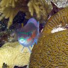 Striped Parrotfish
