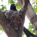 Black Drongo (nest)