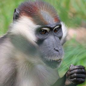 Hey, Farmer by Sam Sampson - Animals Other Mammals ( cherry, mangabey, straw, fur, monkey )