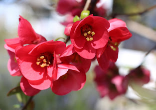 Photo: Still lovin' me some flowering quince. I should admit, however, that this is *not* actually in my garden. It is in the garden next door.