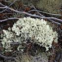 Crinkled Snow Lichen