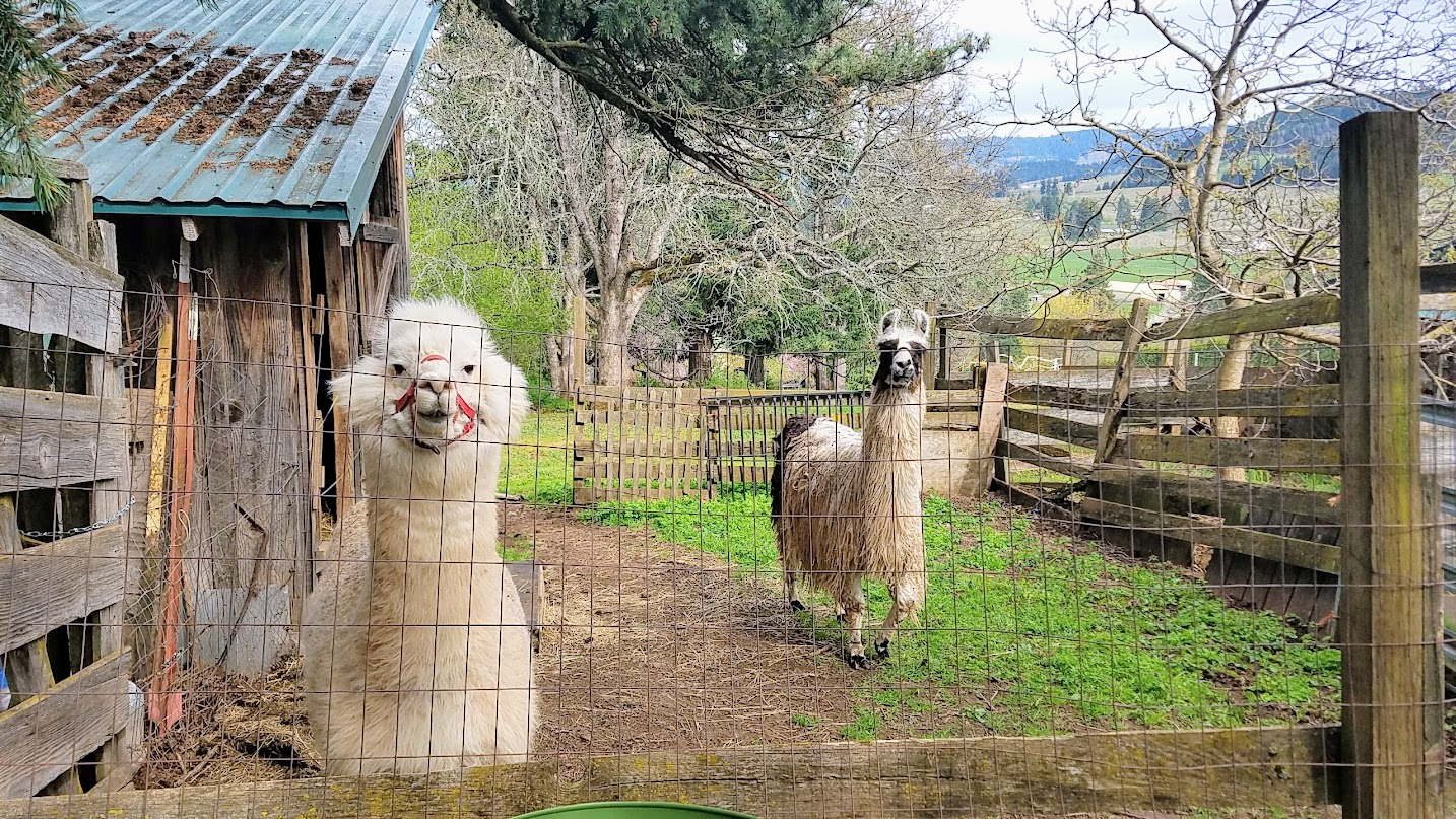 Alpaca and Llama friend at Big Apple Organic Farm, a cute AirBnB / bed and breakfast by Mount Hood slightly south of Hood River