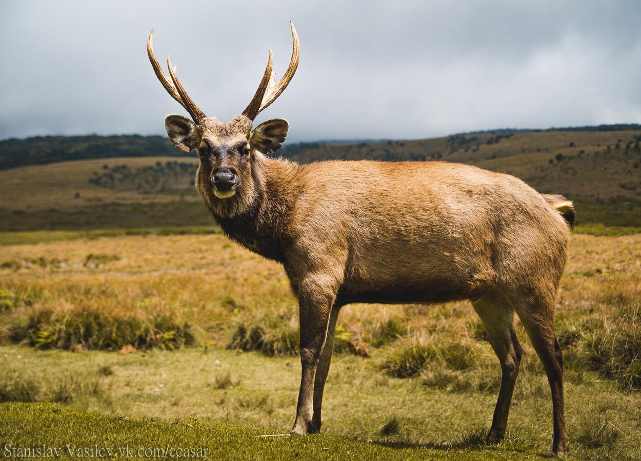 Парк Хортон-Плейнс, местный олень