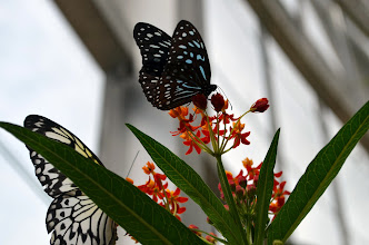 Photo: Dark blue tiger butterfly and a paper kite.