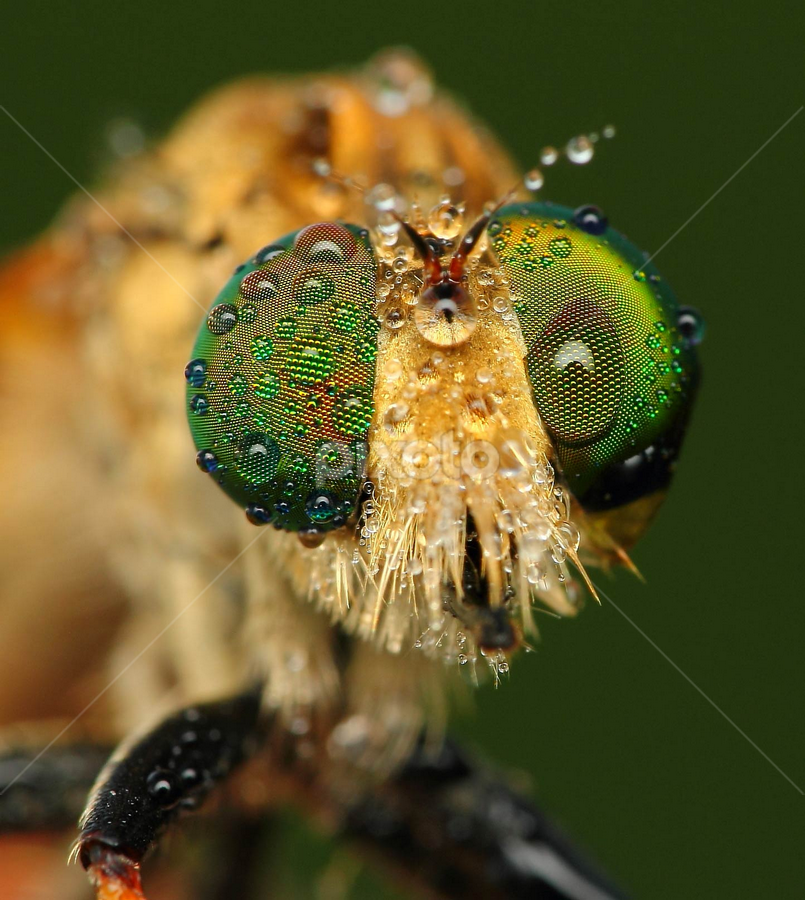robberfly on pose by Sahid Djatmika - Animals Insects & Spiders