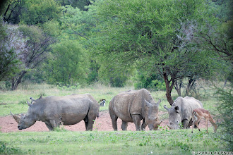 Photo: Peaceful White rhinos, monkeys and an impala RHINO HORN HAS NO MEDICINAL PROPERTIES WHATSOEVER! Please spread this message as wide as possible! Rhino horns are made of keratin, the same material that makes up your hair and fingernails and using rhino horn for medicinal purposes have the same effect on you as biting your nails or eating your own hair! Please help us protect these beautiful animals! At the current rate of poaching, rhinos will be extinct within a few years. 1. #threatenedthursday  by +Diego Cattaneo +Sumit Sen +Sandy Schepis +Anette Mossbacher  2. #hqspanimals  curated by +Joe Urbz +Marina Versaci +Nicole Best  3. #wholewildlifeweek  4. +10000 PHOTOGRAPHERS around the World  5. #nikonshooters  6. +PixelWorld  7. #landscapephotography  #passionforafrica #namibia   #africa