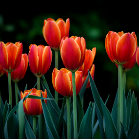 Tulips by Garces & Garces - Flowers Flower Gardens ( tulips, flowers, garden flower )