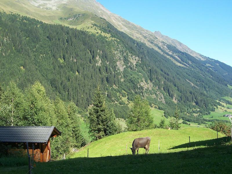 Mucca nel verde di Lauram