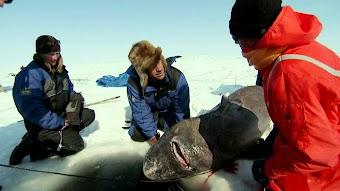 Dirty Jobs: Greenland Shark Quest