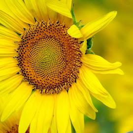 girasol by Lourdes Ortega Poza - Flowers Flowers in the Wild ( pipas, naturaleza, amarillo, flor, girasol, petalos )