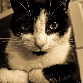 Legend by Noah ONeill - Animals - Cats Portraits
