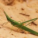 Long Headed Grasshopper